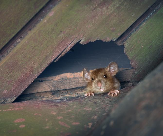 Rodent Pest Control Detroit MI